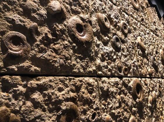 神奈川県小田原市にある生命の星地球博物館のアンモナイトの壁
