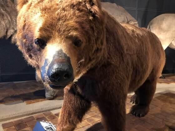 神奈川県小田原市にある生命の星地球博物館のクマの標本