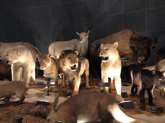 神奈川県小田原市にある生命の星地球博物館のライオンの標本
