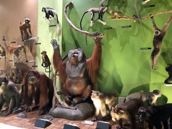 神奈川県小田原市にある生命の星地球博物館の霊長類の標本