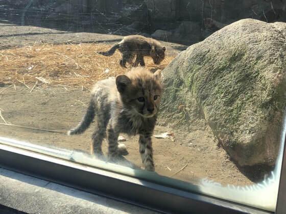 多摩動物公園のチーターの赤ちゃん
