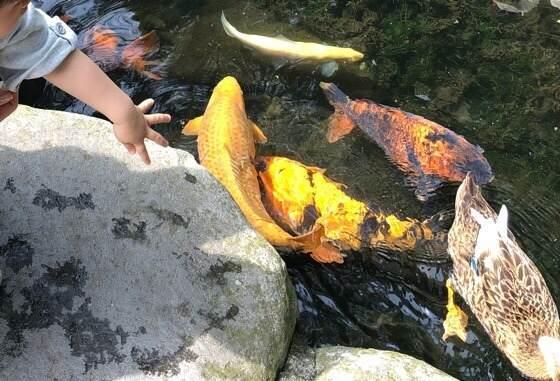 子どもが箱根湯本にある天成園の池の鯉にエサをあげているところ