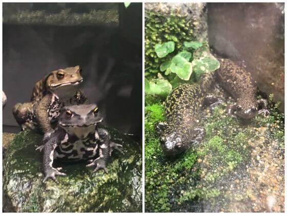 相模川ふれあい科学館に展示してあるカエルとオオサンショウウオ