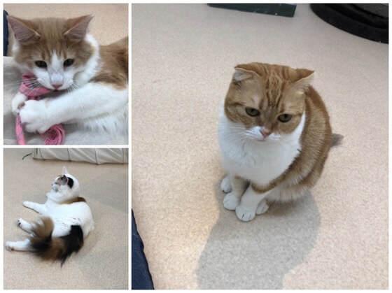 神奈川県相模原市の島忠ホームズ内にある猫カフェの猫たち