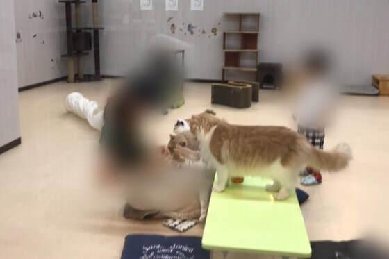 神奈川県相模原市の島忠ホームズ内にある猫カフェで猫にエサをあげている