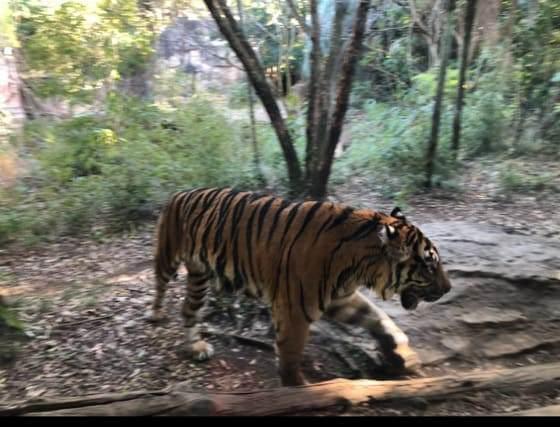 ズーラシアのジャングルカフェ近くに展示されているスマトラトラ