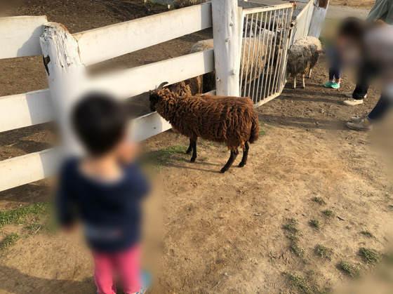 服部牧場の柵を越えたヒツジ