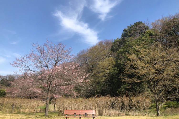 県立相模原公園のせせらぎの園にある桜とベンチ