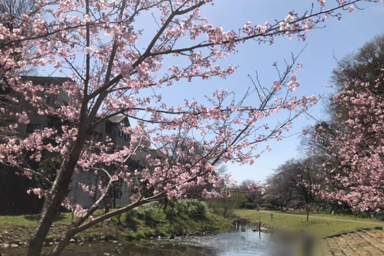 県立相模原公園のせせらぎの園のソメイヨシノと小川