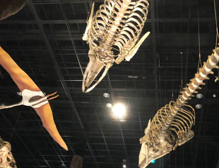生命の星地球博物館の恐竜の化石