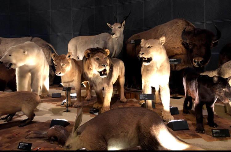 生命の星地球博物館のライオンたちの剥製