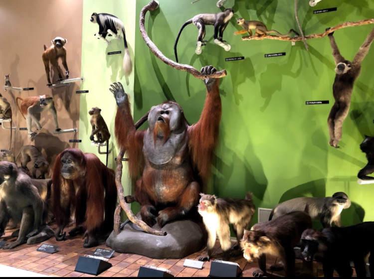 生命の星地球博物館の霊長類の展示
