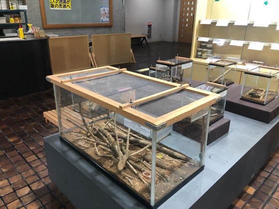 箱根森のふれあい館の生きた昆虫展のクワガタ