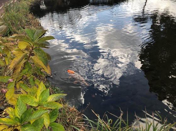 箱根園水族館の鯉がいる池