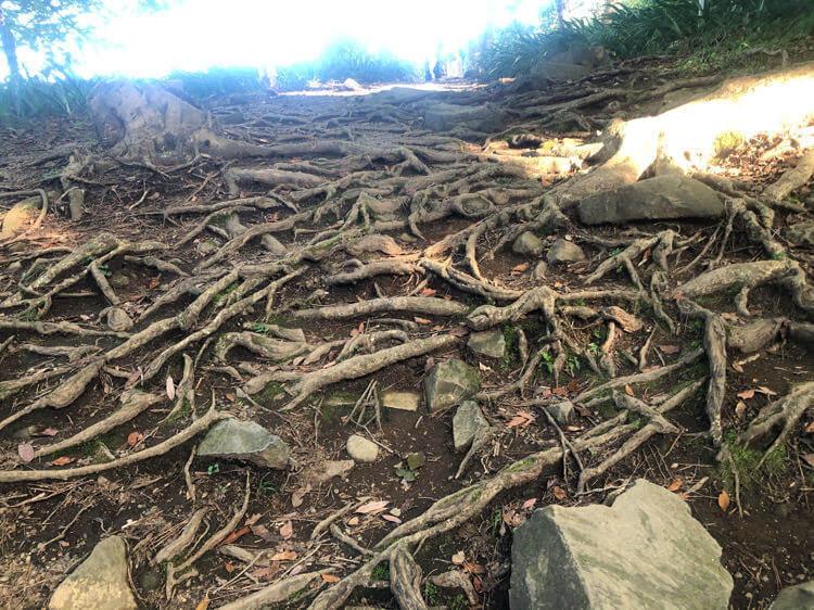 石垣山一夜城の本丸近くの木の根