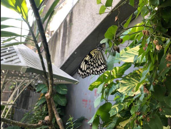 多摩動物公園の昆虫生態園にいるアゲハ蝶