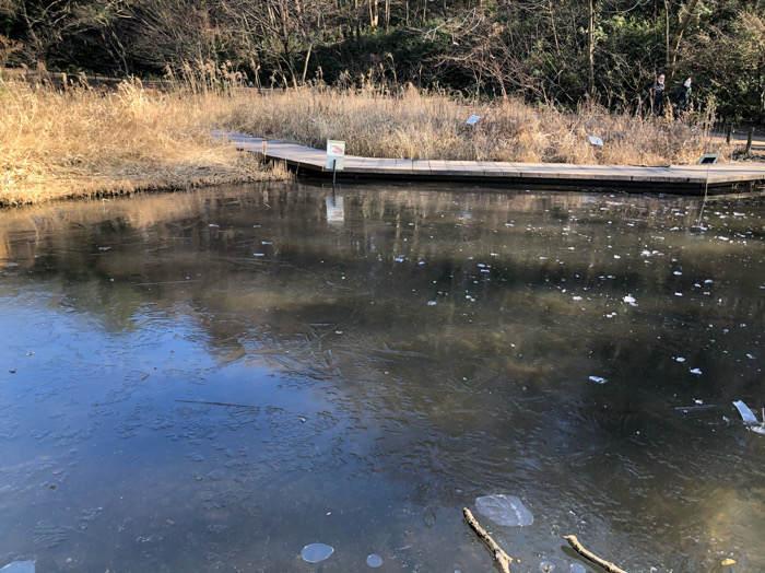 座間谷戸山公園の氷の張った湿生生態園