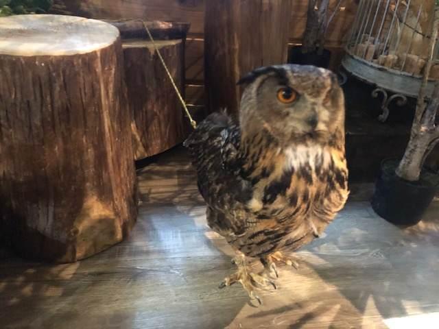 フクロウと触れ合える三島スカイウォークのふろっくにいる大きなフクロウ