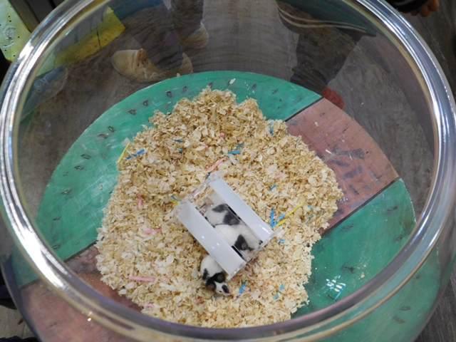 フクロウと触れ合える三島スカイウォークのふろっくにいるネズミ