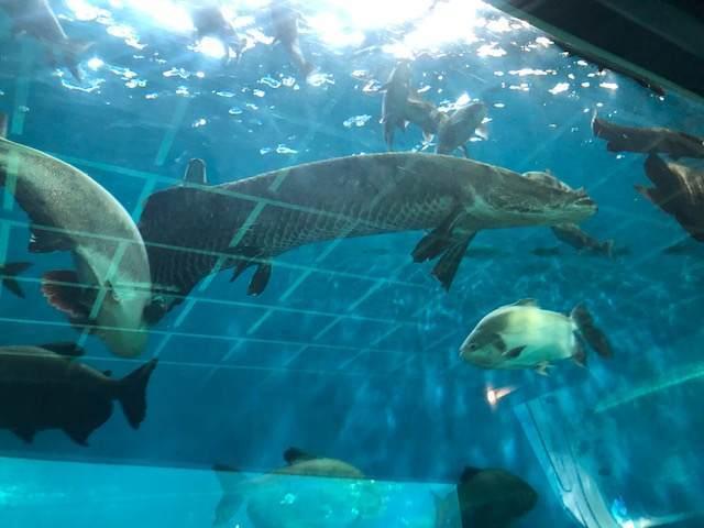 箱根園水族館にいる淡水魚