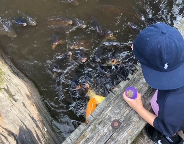 箱根園水族館で鯉にエサをあげる子ども