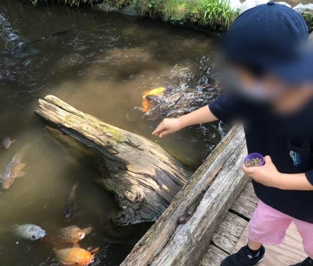 箱根園水族館の池にいる鯉にエサをあげる子ども