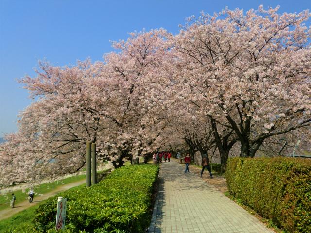 京都八幡市の背割堤の桜