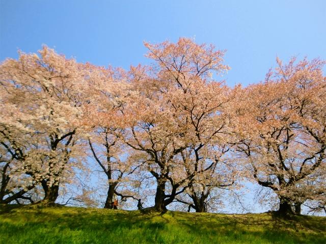 背割堤の桜のトンネル