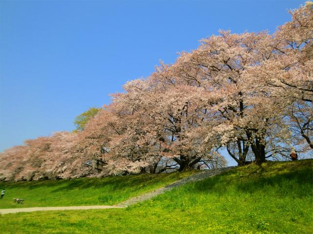 背割堤の桜と菜の花