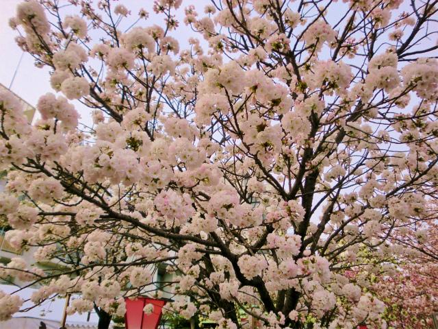 造幣局、通り抜けの桜