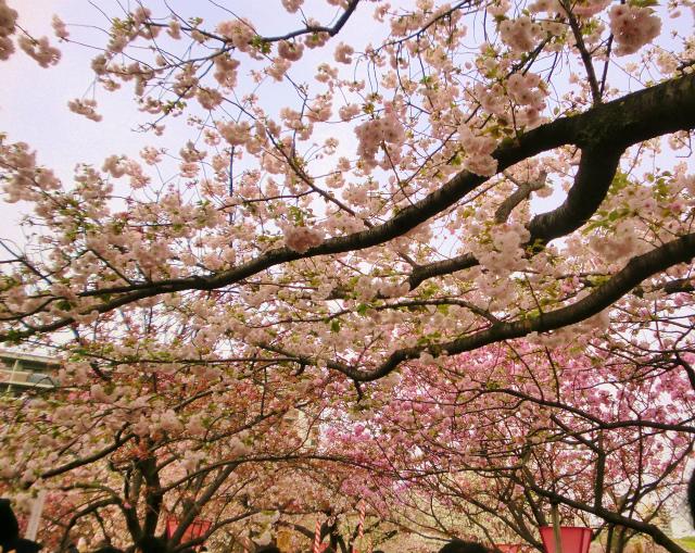 通り抜けの桜のお花見