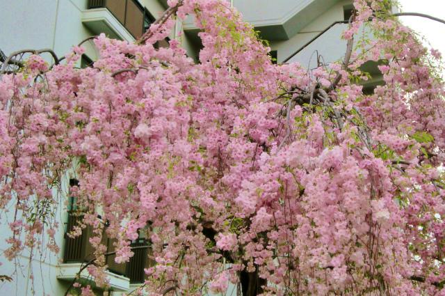 大阪 通り抜けのお花見 しだれ桜