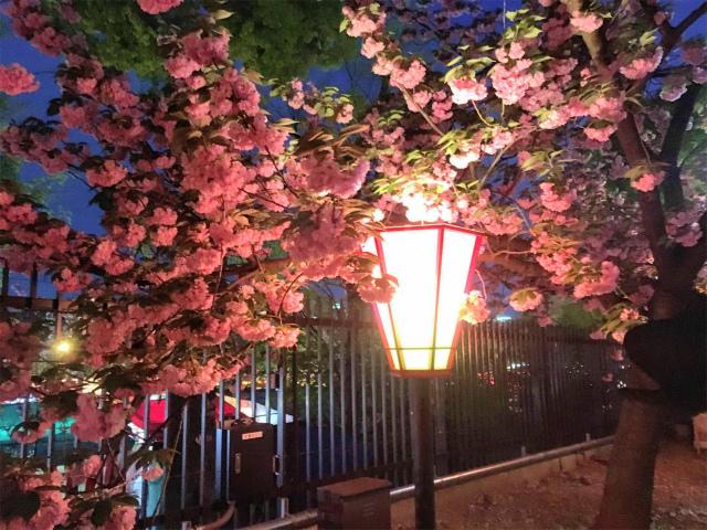 造幣局、通り抜けの夜桜