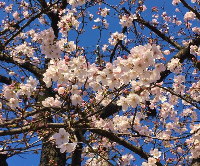 春本番 桜