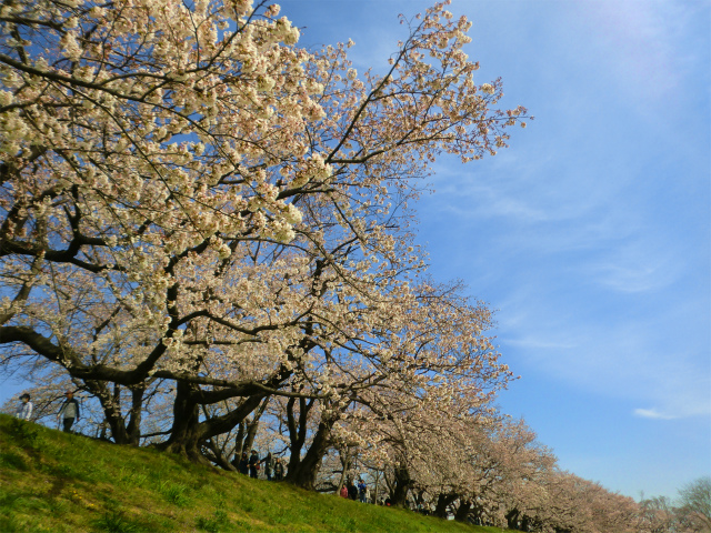 2019年 背割堤の桜 五分咲き