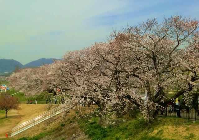 五分咲きの背割堤の桜