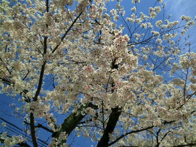 男山桜まつり