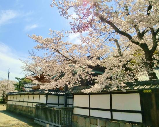 正法寺と桜