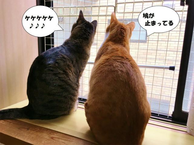 鳩を見てケケケと鳴く猫