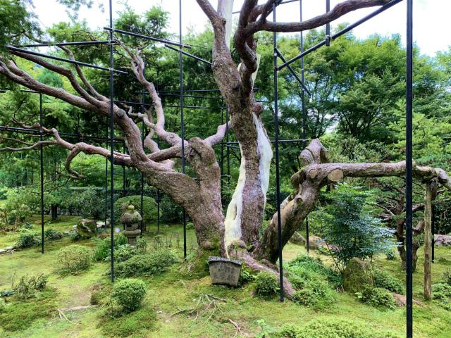 宝泉院の五葉の松