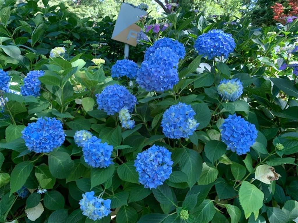 大阪であじさいが見たいなら長居植物園がおすすめ