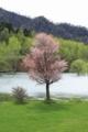 岩尾内湖畔の桜
