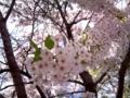 20100518_桜
