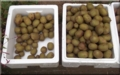 赤色キウイ収穫 約12kg