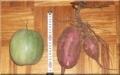 網目途中のメロンと試し掘りしたサツマイモ