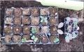 発芽中のソラマメと待機中のキャベツ苗