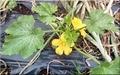 先週植えたズッキーニが開花