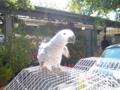 パリの小鳥市でヨウム売ってた!