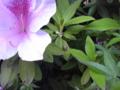 大紫躑躅 (おおむらさきつつじ)