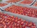 [お気に入り]淡路の島菜園のミディトマト